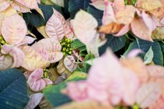 Selective focus with close up pink flower and green leaf. Summer background. Flower Pattern stock photos