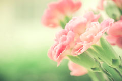 Selective focus of close up sweet pink carnation flowers Stock Images