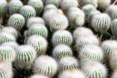 Selective focus close-up top-view shot on Golden barrel cactus. Cluster, endemic to east-central Mexico widely cultivated as an ornamental plant royalty free stock image