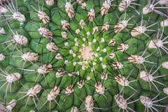 Selective focus close-up top-view shot on Golden barrel cactus. Echinocactus grusonii macro shot pattern stock image