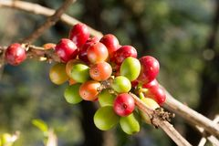 Selective focus of coffee cherries on a branch of coffee tree. Selective focus of coffee cherries on  branch of coffee tree Stock Photos