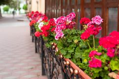 Colorful flowers in flowerpots near building and sidewalk at street. Selective focus of colorful flowers in flowerpots near building and sidewalk at street royalty free stock image