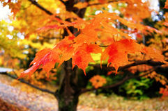 Coloured Branches. Selective focus of colourful autumn leaves on a maple tree, just after a rain royalty free stock photos