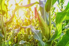 Selective focus corn field. With sunrise royalty free stock image