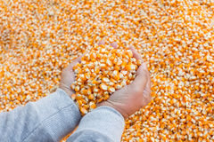Selective focus at corn seed for animal feed in hand Stock Photography