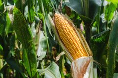 Selective focus corn on stalk in field Royalty Free Stock Images