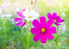 Selective focus cosmos flowers among green leaves. Selective focus cosmos flowers among green leaves Royalty Free Stock Photo