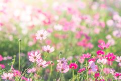 Selective focus of Cosmos royalty free stock photography