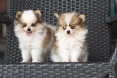Selective focus couple cute chihuahua poppy dogs Royalty Free Stock Images