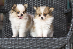 Selective focus couple cute chihuehue poppy dogs. Selective focus on right couple cute chihuehue poppy dogs stock photos