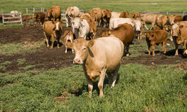 Alberta Cows Stock Photography