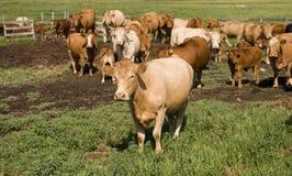 Alberta Cows Stock Photography