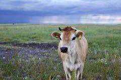 Selective Focus of Cow Photo Stock Photos
