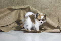 Selective focus cute chihuehue poppy dogs Royalty Free Stock Photos