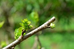 Selective focus of Cutting off  top mulberry tree. With blurred other background Stock Image
