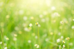 Selective focus of daisy flower. With blurred background Royalty Free Stock Photo