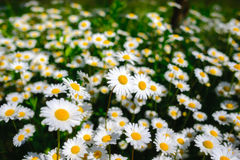 Selective focus daisy flowers - wild chamomile. Green grass and chamomiles in the nature. Chamomile. Green grass and chamomiles in the nature Stock Images