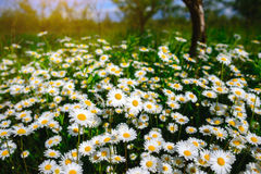Selective focus daisy flowers - wild chamomile. Green grass and chamomiles in the nature. Chamomile. Green grass and chamomiles in the nature Royalty Free Stock Photography