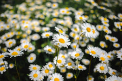 Selective focus daisy flowers - wild chamomile. Green grass and chamomiles in the nature. Chamomile. Green grass and chamomiles in the nature Royalty Free Stock Photo