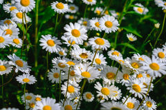 Selective focus daisy flowers - wild chamomile. Green grass and chamomiles in the nature. Chamomile. Green grass and chamomiles in the nature Royalty Free Stock Images