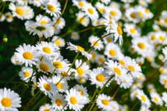 Selective focus daisy flowers - wild chamomile. Green grass and chamomiles in the nature. Chamomile. Green grass and chamomiles in the nature Stock Photography