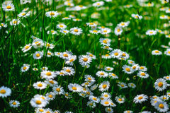 Selective focus daisy flowers - wild chamomile. Green grass and chamomiles in the nature. Chamomile. Green grass and chamomiles in the nature Royalty Free Stock Photos