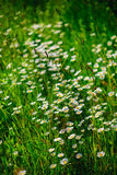 Selective focus daisy flowers - wild chamomile. Green grass and chamomiles in the nature. Chamomile. Green grass and chamomiles in the nature Stock Photo