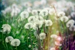Selective focus dandelion seeds in green grass Stock Photos
