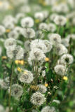 Selective focus on dandelion seeds Royalty Free Stock Photography