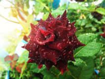 Dark red rose with water drops. Selective focus on dark red rose with water drops on blurred green leaves background and morning sunlight royalty free stock photos
