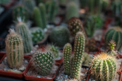 Selective focus on a different kinds of small cactus in pots. royalty free stock photo