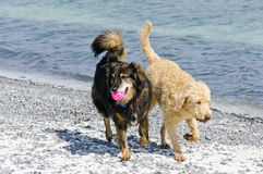 Dogs at the Beach Royalty Free Stock Photography