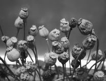 Selective focus of dry opium flowers , Royalty Free Stock Image