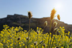 Selective focus dry yellow grass flowers on meadow in Spring  su. Nrise, south Italy Stock Images