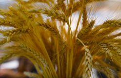 Selective focus of ears of wheat Stock Images
