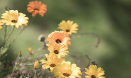 Selective Focus faded yellow and orange daisies in a meadow for. Design background Stock Images