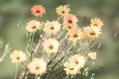 Selective Focus faded yellow and orange daisies in a meadow for. Design background Stock Image