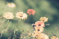 Selective Focus faded yellow and orange daisies in a meadow for. Design background Royalty Free Stock Photo