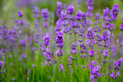 Selective focus field lavender flowers. Selective focus new morning natural field lavender flowers day Stock Images