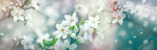 Selective focus on flower petals and stamens - beautiful flowering fruit tree Royalty Free Stock Images