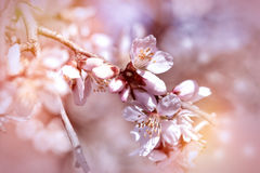 Selective focus on flowering branch of fruit tree Royalty Free Stock Photography