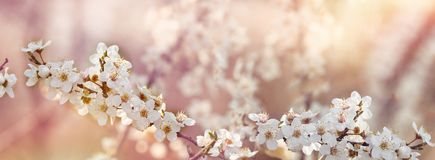 Selective focus on flowering fruit branch. Blooming fruit tree, beautiful nature Royalty Free Stock Photos