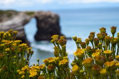 Selective focus of flowers near Natural rock arches on Cathedrals beach. Cantabric coast, Lugo, Galicia, Spain, blue sky and ocean waves royalty free stock photography