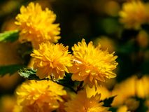 Selective focus on foreground of bright yellow flowers of Japanese kerria or Kerria japonica pleniflora on natural blurred. Dark green background. Beautiful stock image