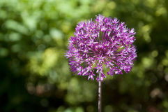 Allium Pink Flower Stock Photography