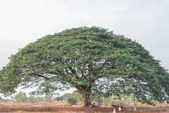 Selective focus giant Monkey pod tree in dried field.Also sometimes known as Samanea saman,Albizia Saman or the rain tree. Selective focus giant Monkey pod tree royalty free stock photos