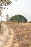 Selective focus giant Monkey pod tree in dried field.Also sometimes known as Samanea saman,Albizia Saman or the rain tree. Selective focus giant Monkey pod tree royalty free stock image