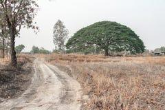 Selective focus giant Monkey pod tree in dried field.Also sometimes known as Samanea saman,Albizia Saman or the rain tree. Selective focus giant Monkey pod tree stock photos