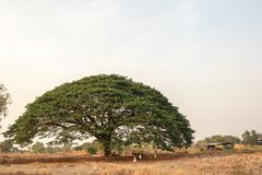 Selective focus giant Monkey pod tree in dried field.Also sometimes known as Samanea saman,Albizia Saman or the rain tree. Selective focus giant Monkey pod tree stock image