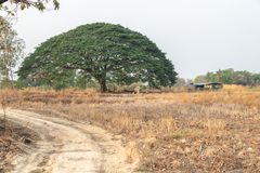 Selective focus giant Monkey pod tree in dried field.Also sometimes known as Samanea saman,Albizia Saman or the rain tree. Selective focus giant Monkey pod tree stock images